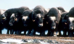 Musk oxen stand shoulder-to-shoulder when they're in danger. AK Division of Tourism photo