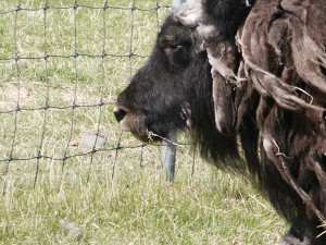 A bad hair day for one musk ox!
